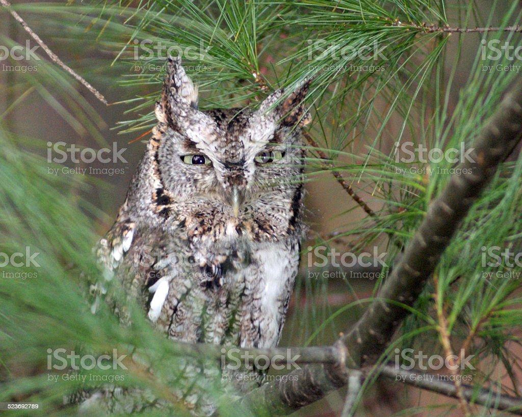 Owl in Pine Needles stock photo