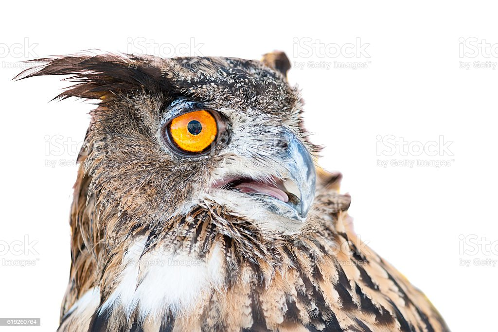owl in the foreground isolated with white background posing for stock photo