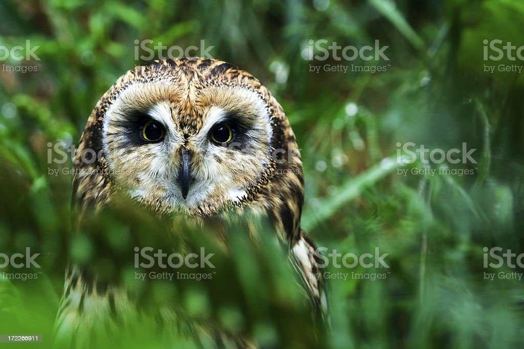 Owl in the wild royalty-free stock photo