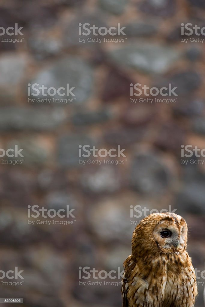 owl looking aside with a brick wall in the background stock photo
