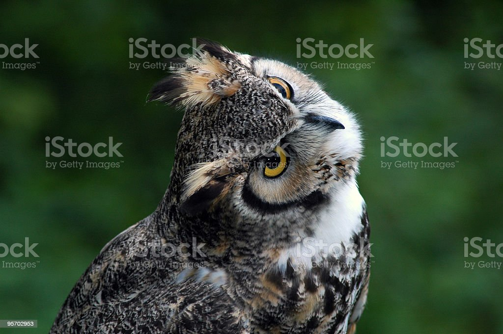 Owl Looking Back royalty-free stock photo