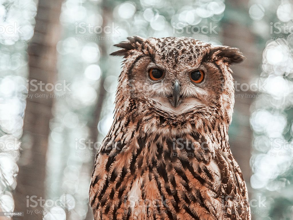 Owl looking directly at the camera. stock photo