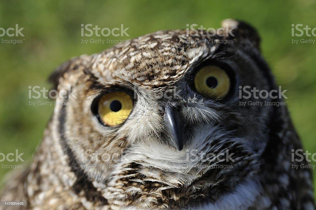 Owl Looking stock photo