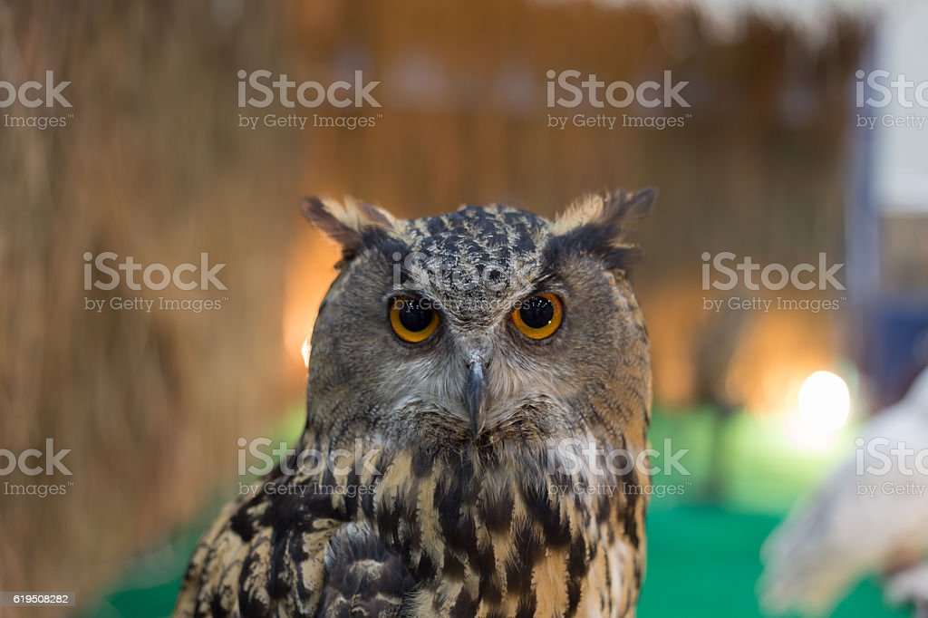 owl looking something stock photo
