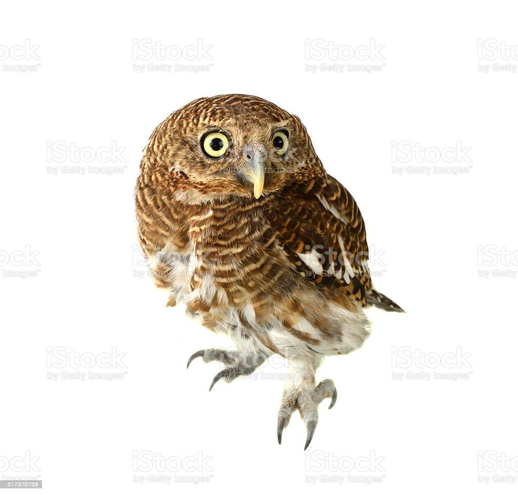 owl of white background stock photo
