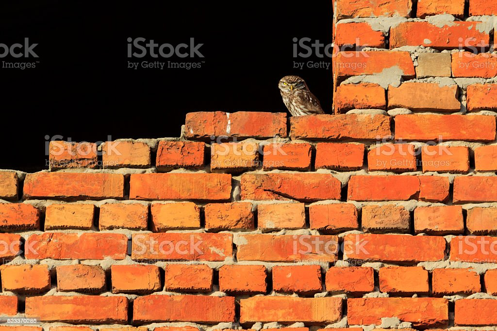 owl on a brick wall stock photo