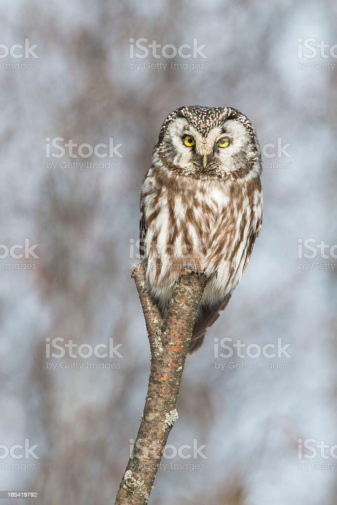 Owl on a Stick royalty-free stock photo