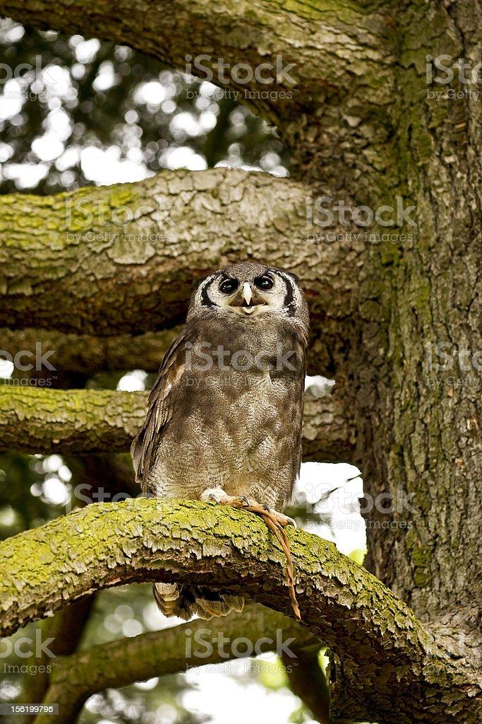 Owl on a tree. royalty-free stock photo