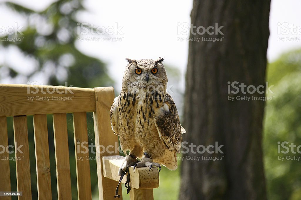 Owl on Bench stock photo