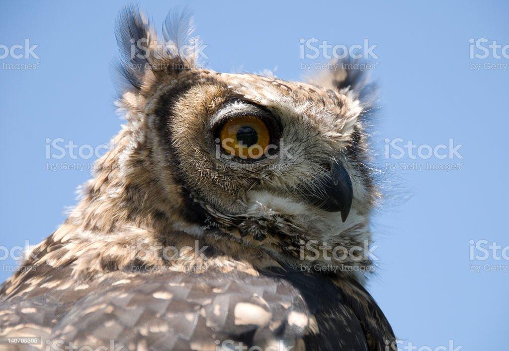 Owl on blue background stock photo