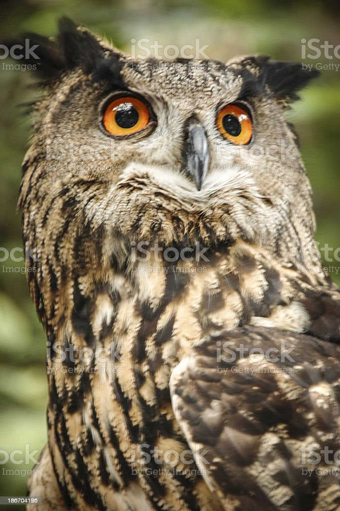 Owl on the Prowl stock photo