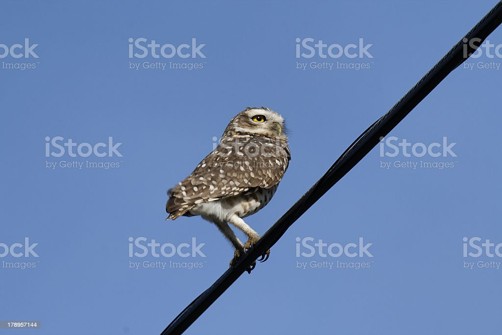 Owl on wire royalty-free stock photo
