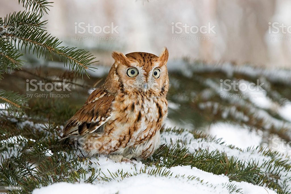 Owl perched in snowy tree outside royalty-free stock photo