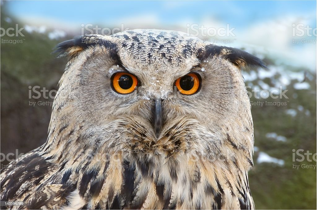 Owl. royalty-free stock photo