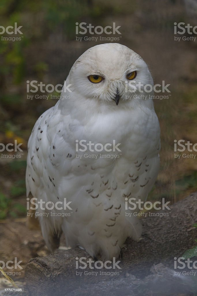 Owl (Bubo scandiacus) royalty-free stock photo