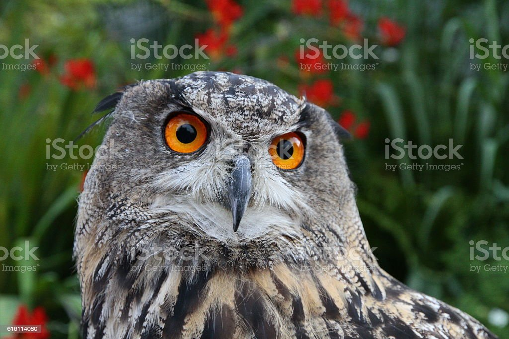 Owl (Indian eagle-owl) stock photo