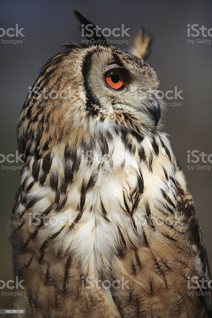owl portrait royalty-free stock photo