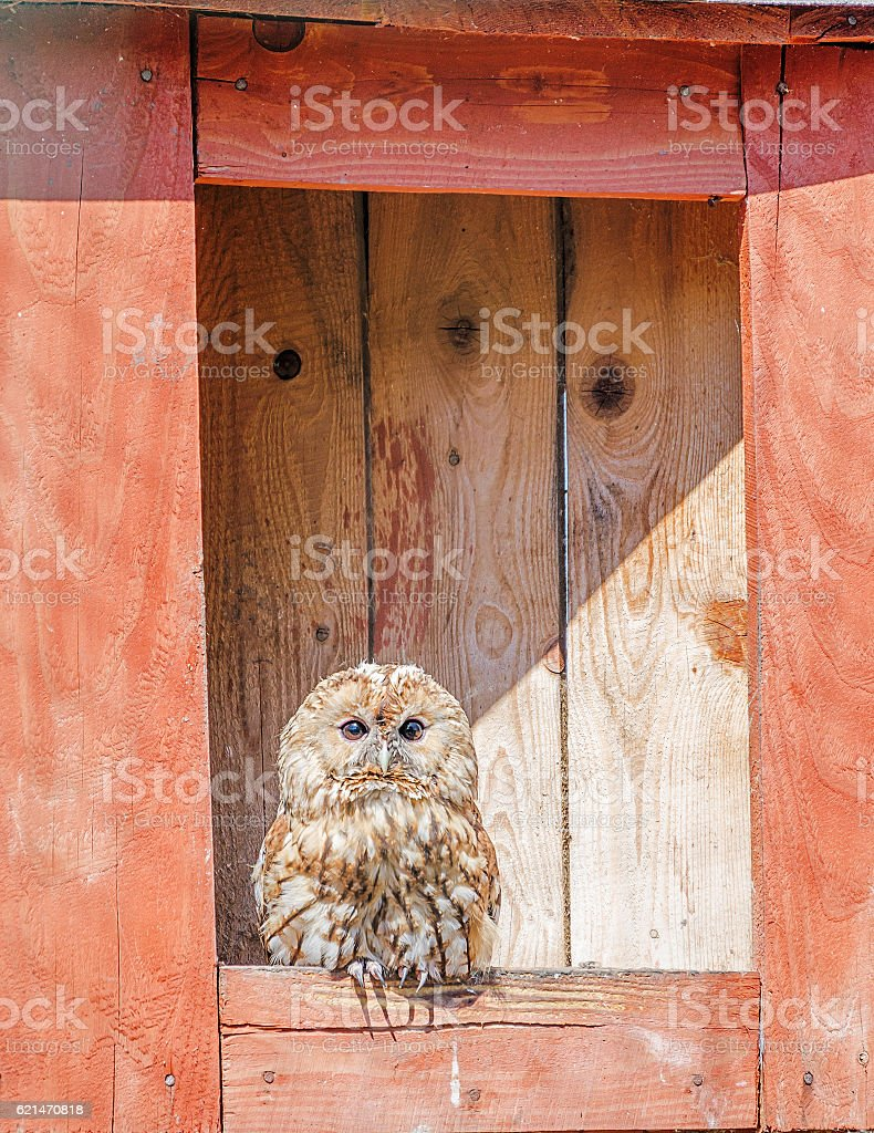 Owl sits in nesting box stock photo