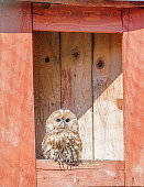 Owl sits in nesting box