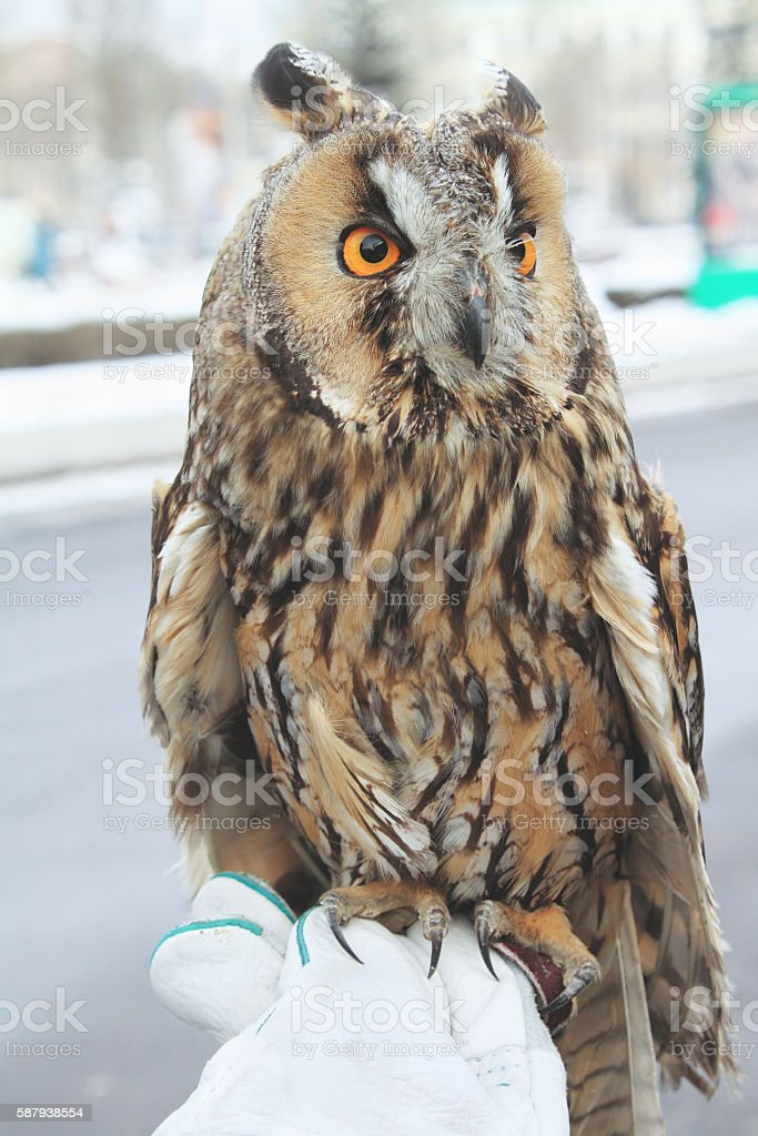 owl sits on hand in  glove stock photo