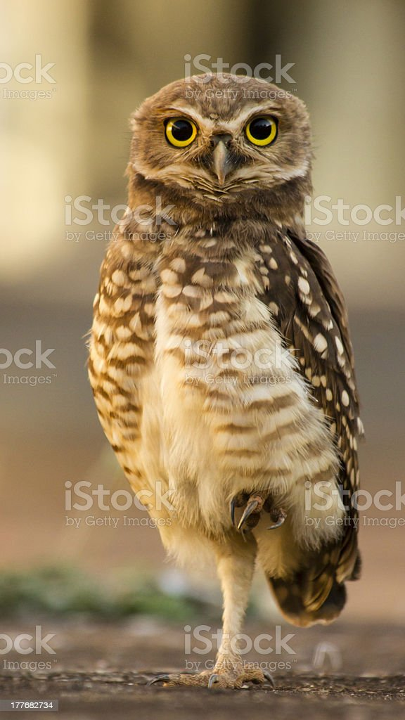 Owl Standing on one feet looking the camera, yellow eyes. royalty-free stock photo