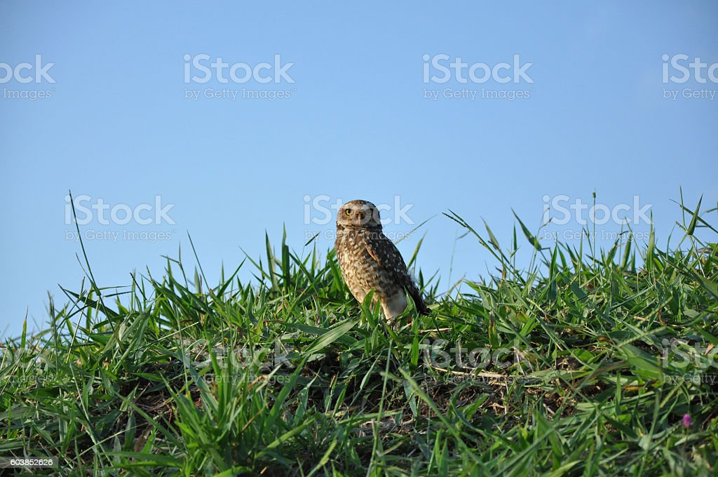 Owl staring at a park stock photo