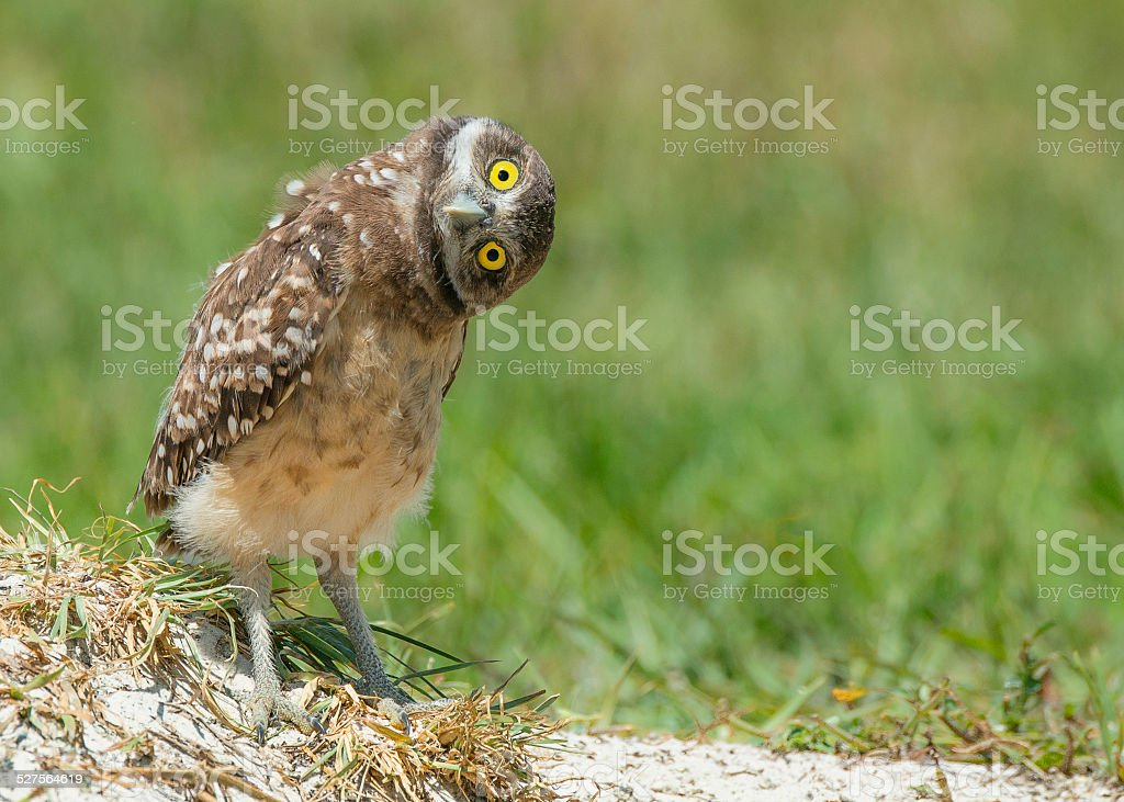 Owl tilting head listening with big open yellow eyes stock photo