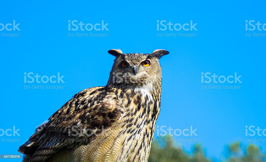 Owl waiting for prey to be captured stock photo