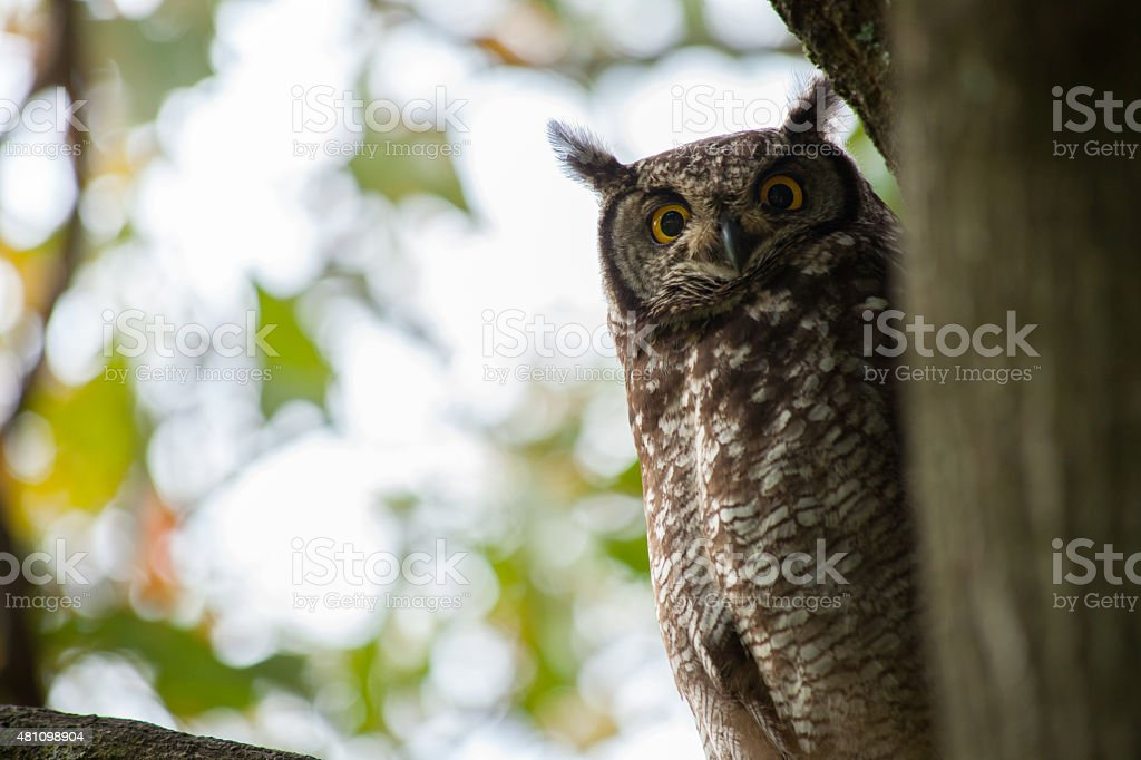 Owl Watches from Tree stock photo