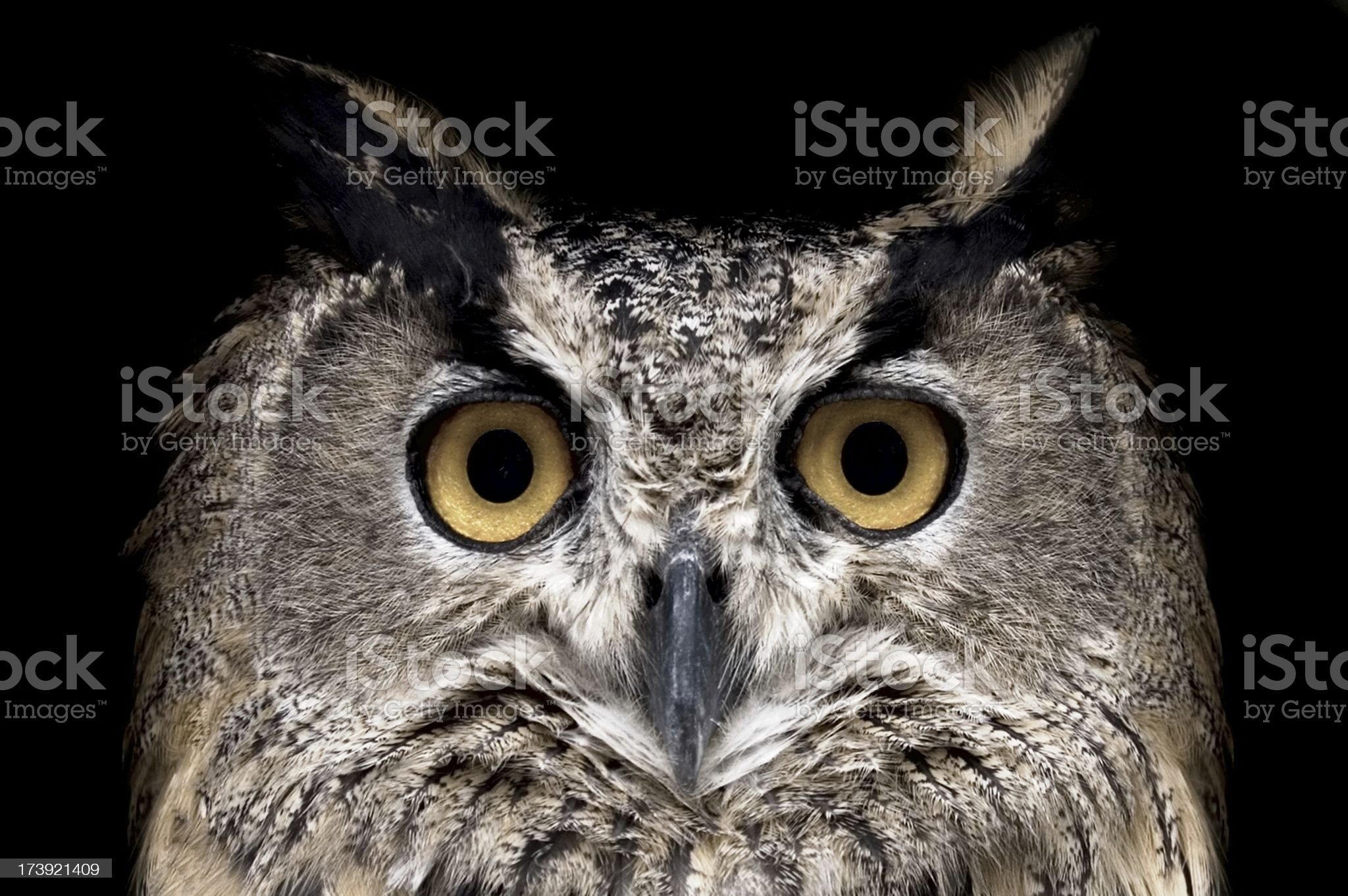 Owl watching in camera. Isolated on Black royalty-free stock photo