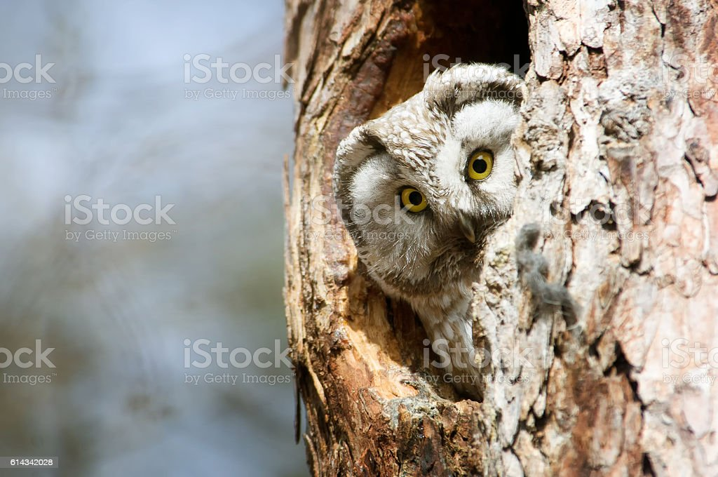 Owl with big yellow eyes peeking out of the hollow stock photo
