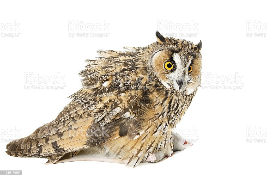 owl with prey royalty-free stock photo