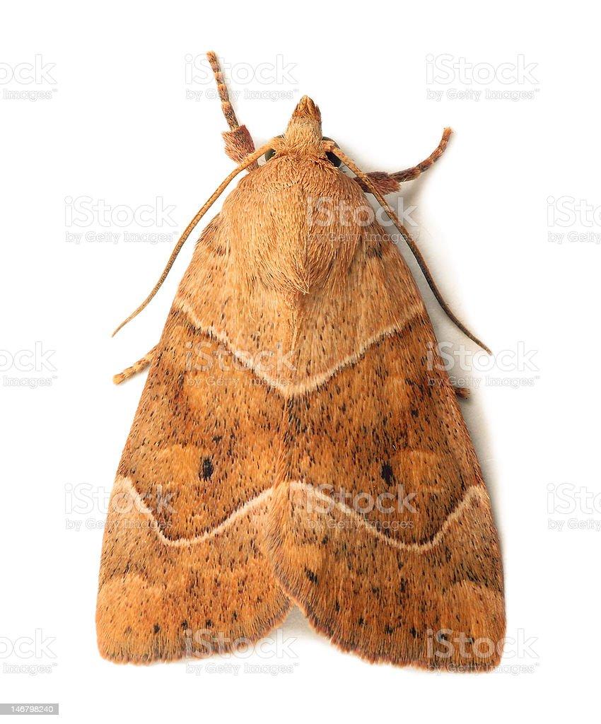 Owlet moth stock photo