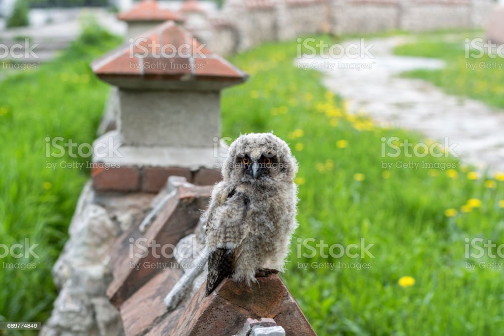 Owlet on the fence stock photo