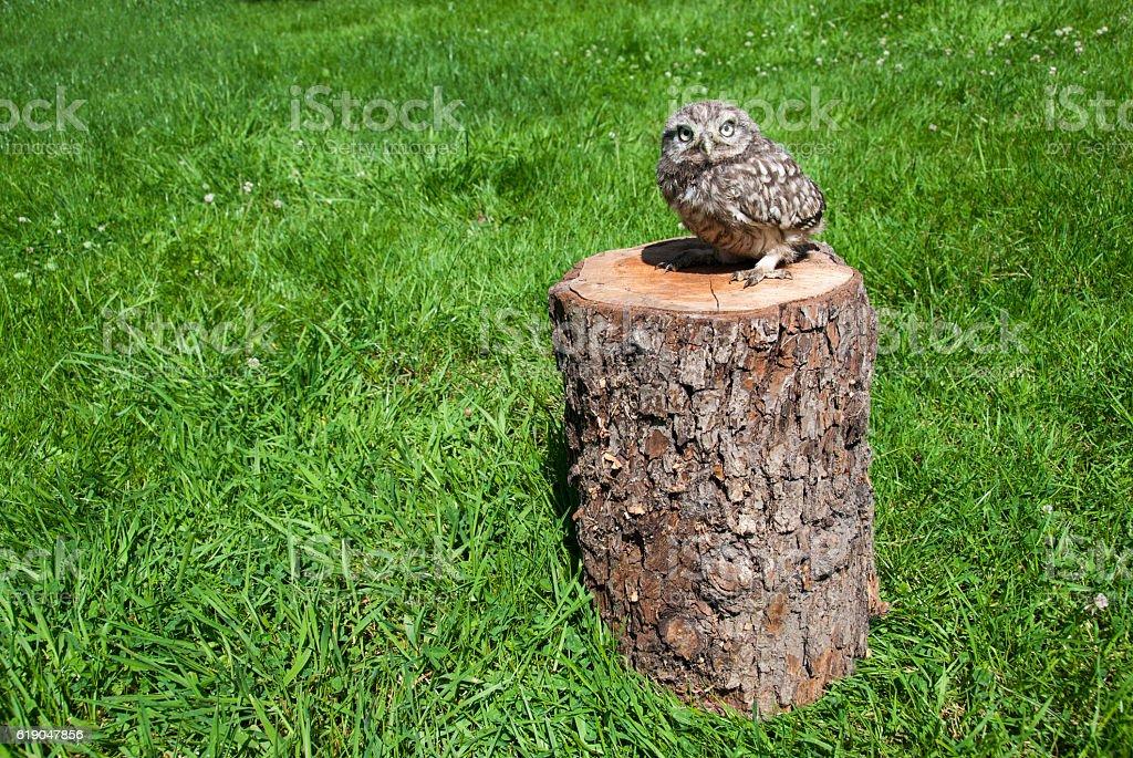 Owl's chick stock photo