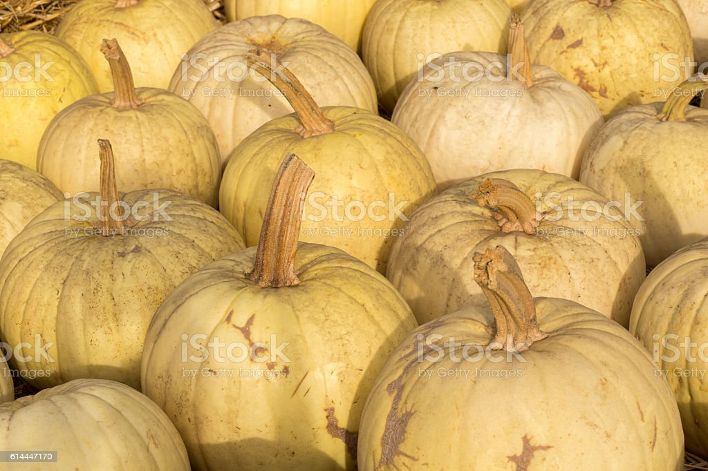 Owl's Eye Pumpkins in a Pumpkin Patch in Northern California stock photo