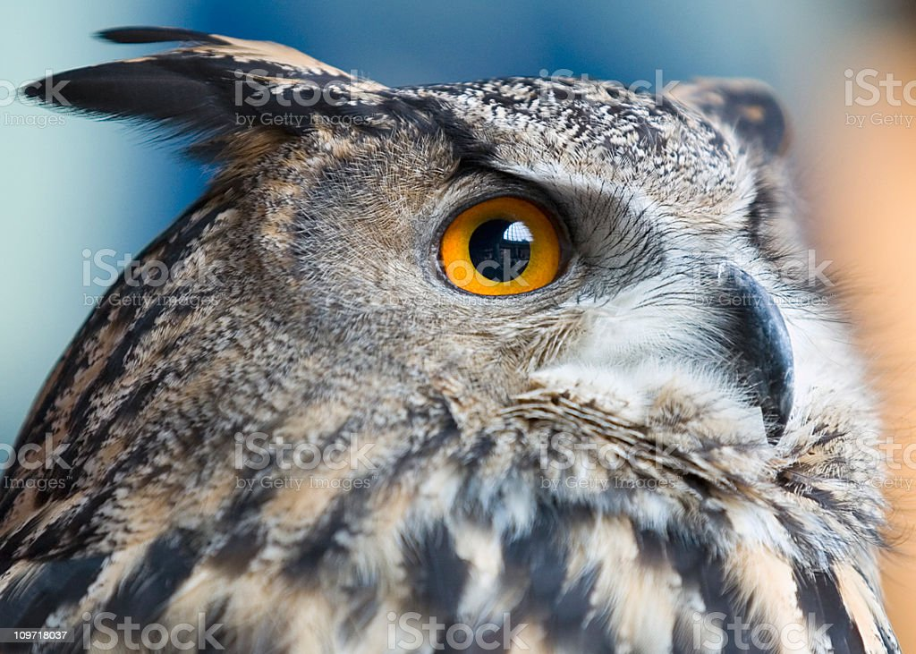 Owls see everything stock photo