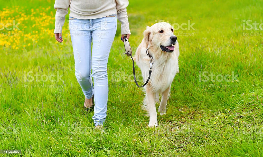 Owner and happy Golden Retriever dog on the grass walking stock photo