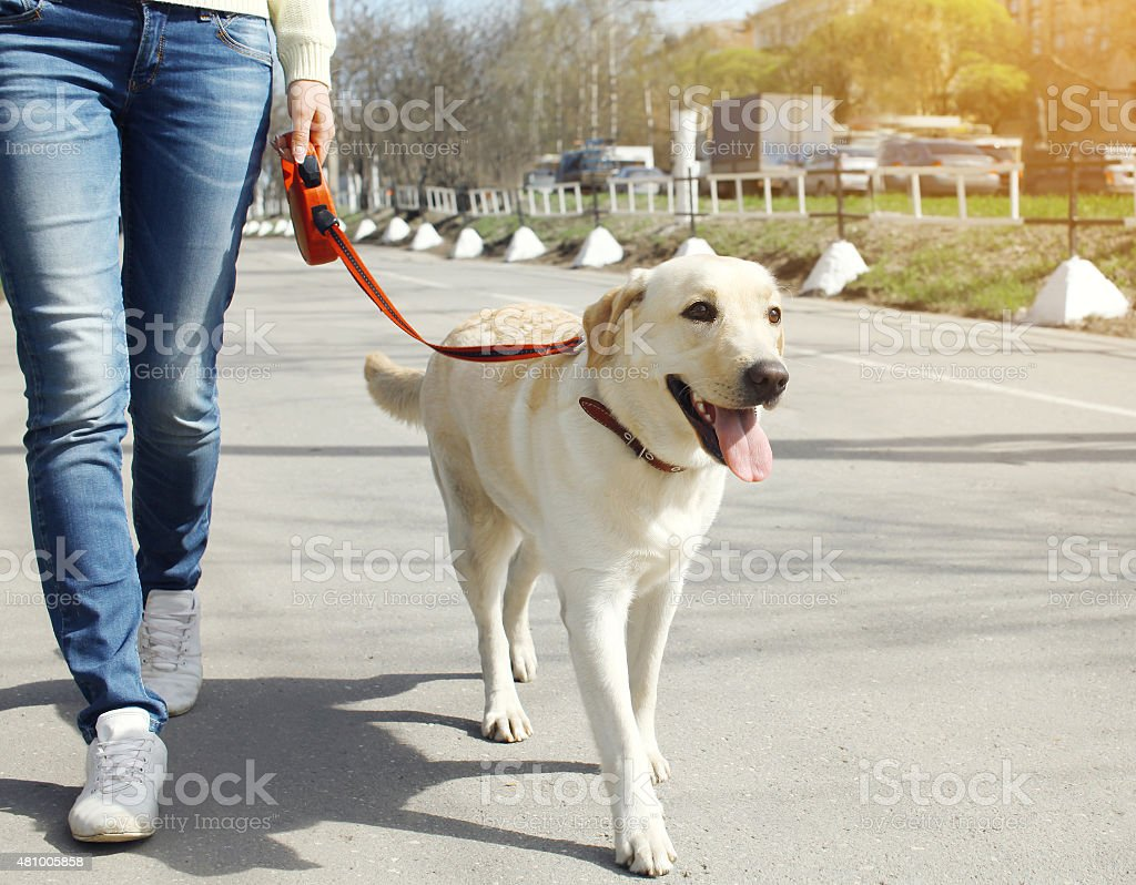 Owner and labrador retriever dog walking in the city stock photo