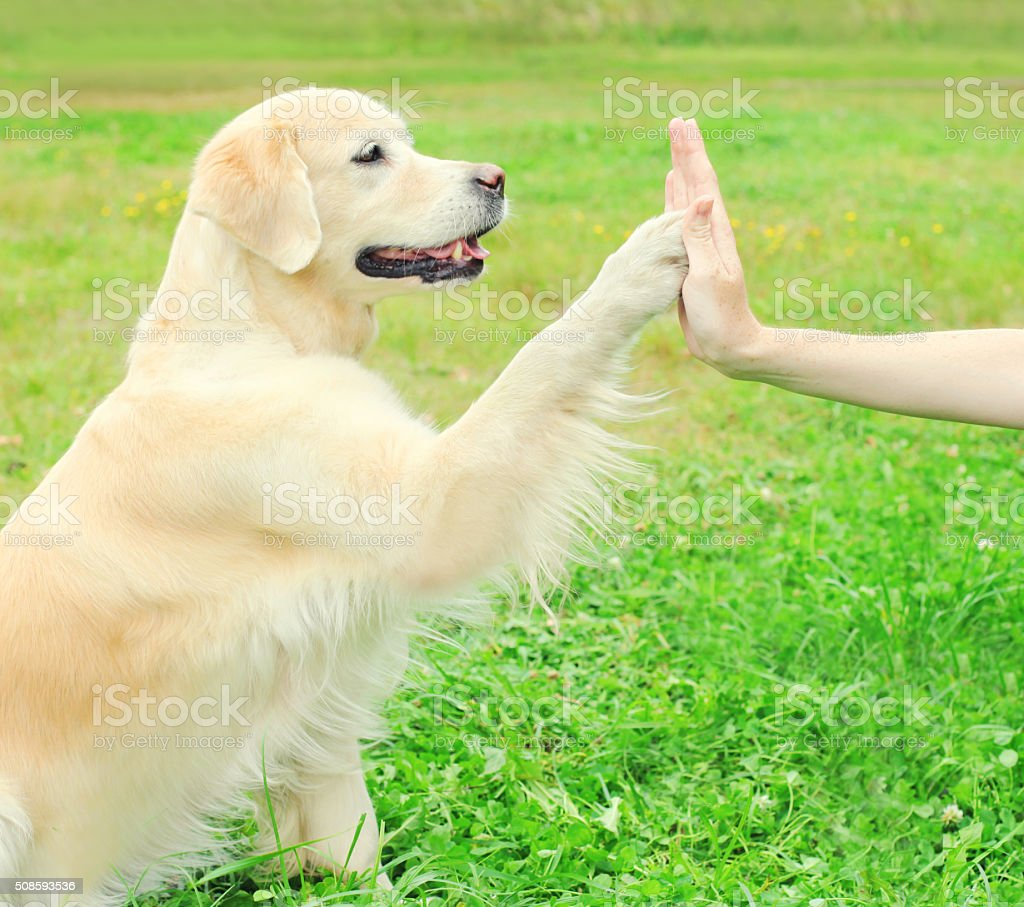 Owner training Golden Retriever dog on grass, giving paw stock photo