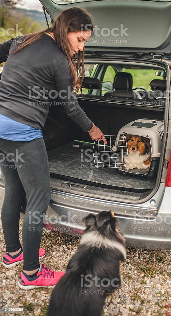 Owner transporting her dogs in a car stock photo