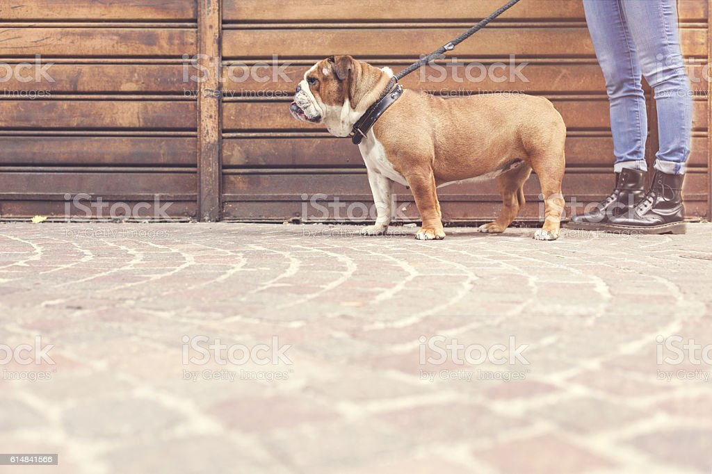 owner with her bulldog walking in a urban city stock photo