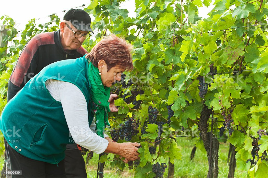 Owners of the vineyard control the ripening vines stock photo