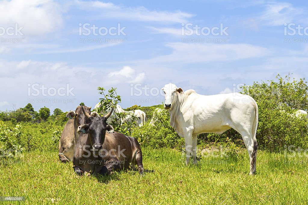 Ox and cow stock photo