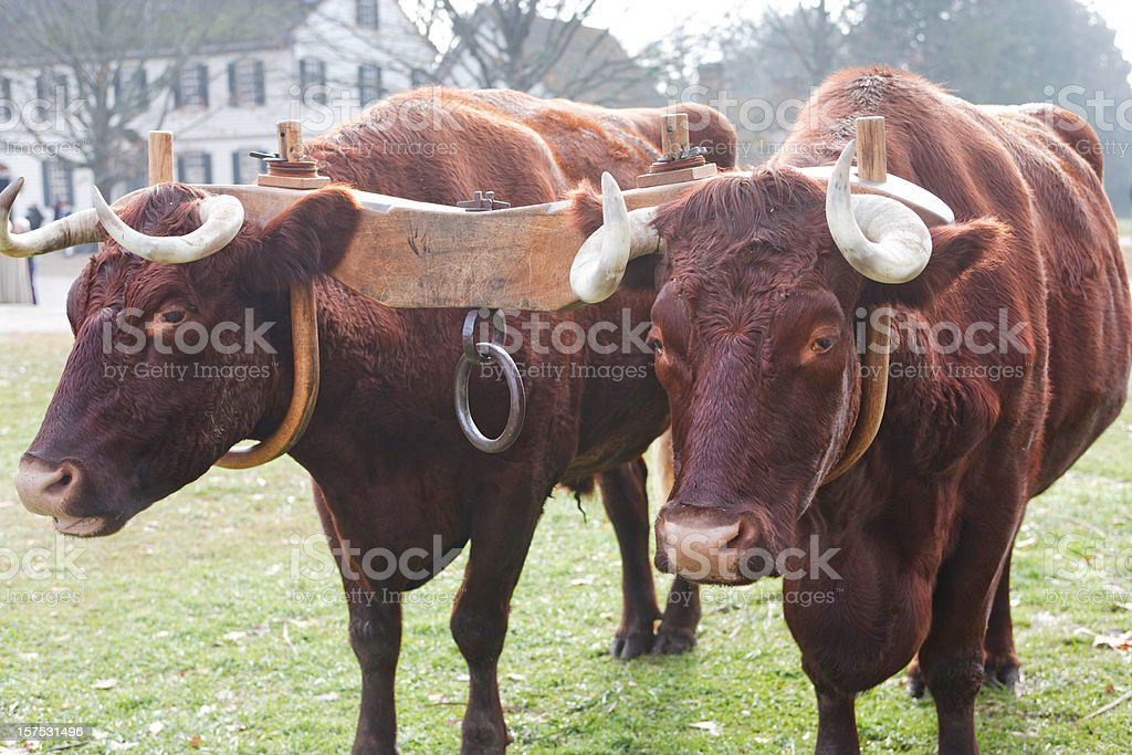Ox and Yoke stock photo