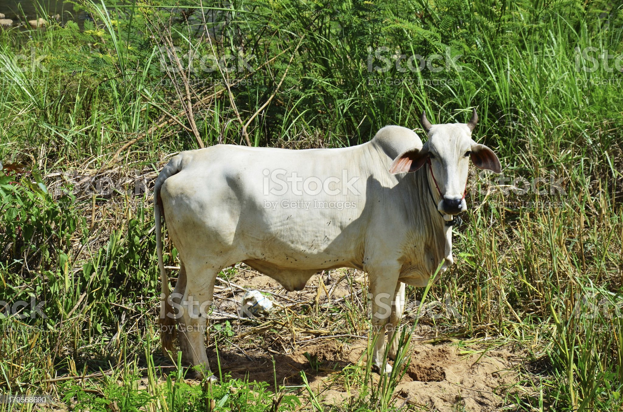 Ox at Thailand royalty-free stock photo