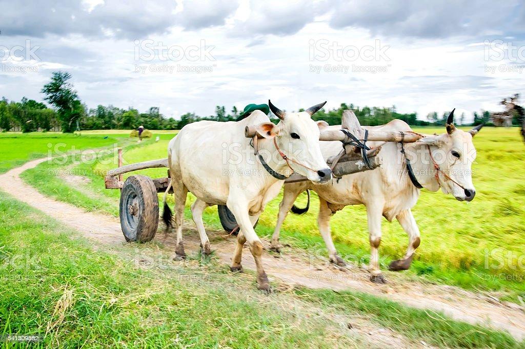 Ox cart (bull, cow) on field in Mekong delta, Vietnam stock photo