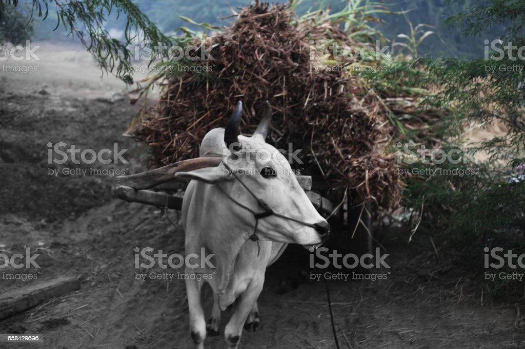 Ox Cart ! stock photo