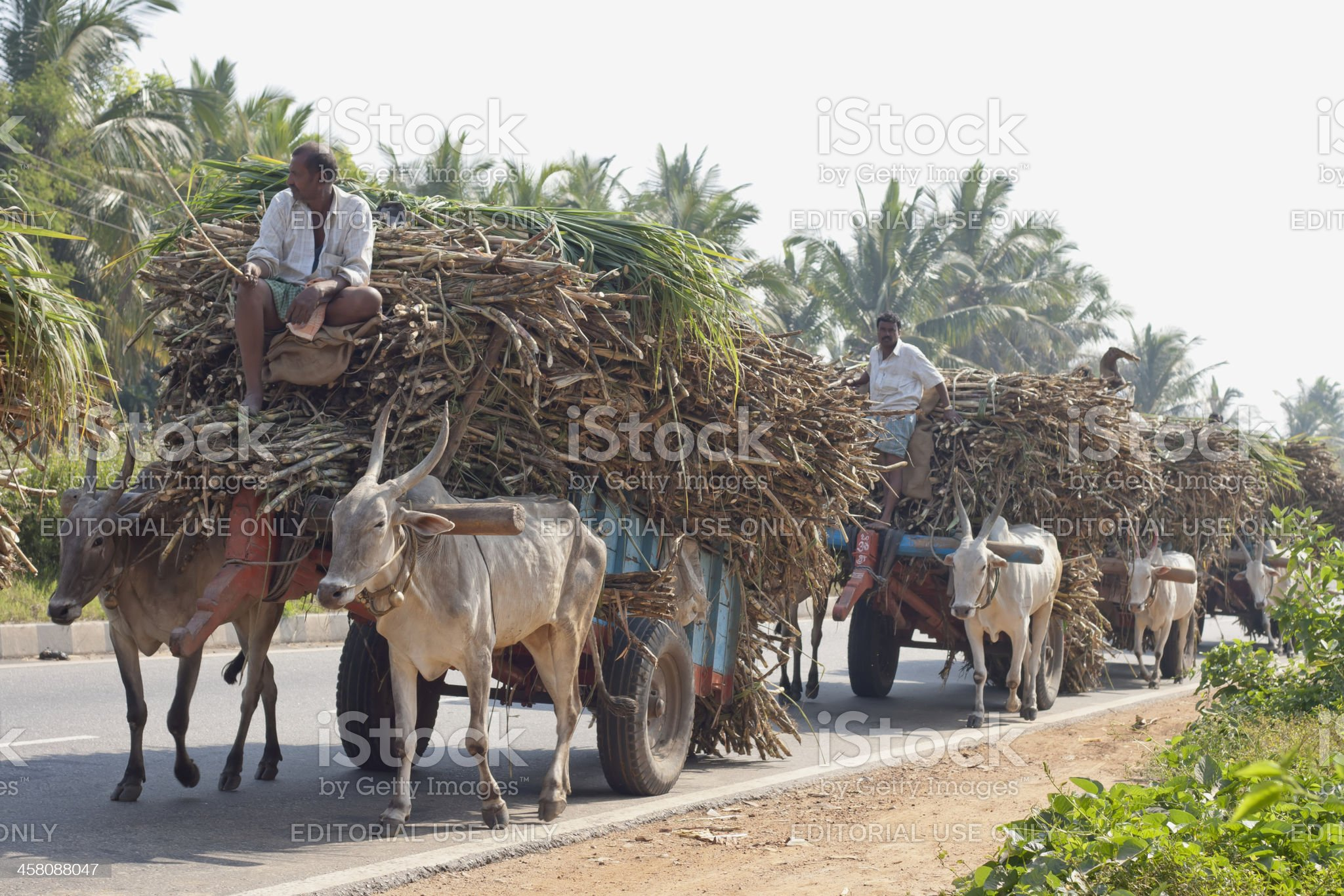 Ox carts carrying sugarcane in India royalty-free stock photo