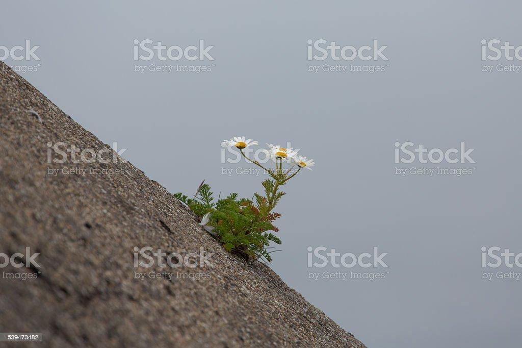 Ox eye daisies growing on concrete slope stock photo